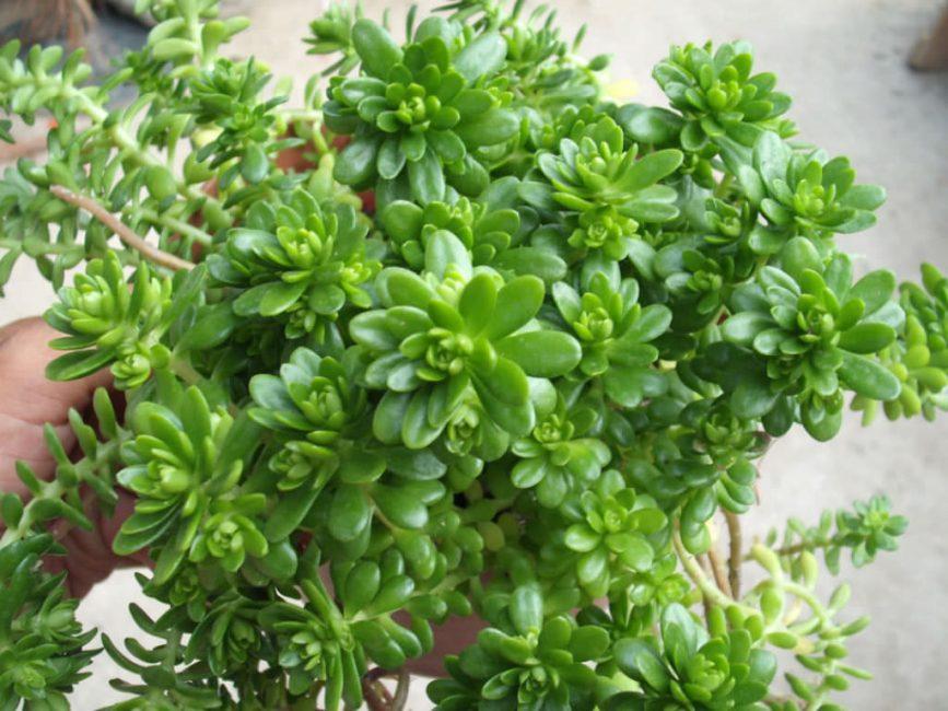 Мясистые листья седума содержат много полезных веществ. В качестве лекарственного сырья используется вегетативная часть растения.