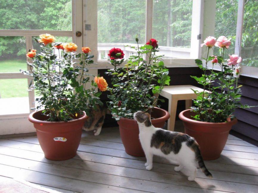 Крупные розы выращенные в горшке