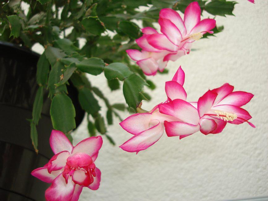Шлюмбергера усеченная: белоснежные цветки растения с ярко-малиновой серединкой неправильной формы радуют взгляд