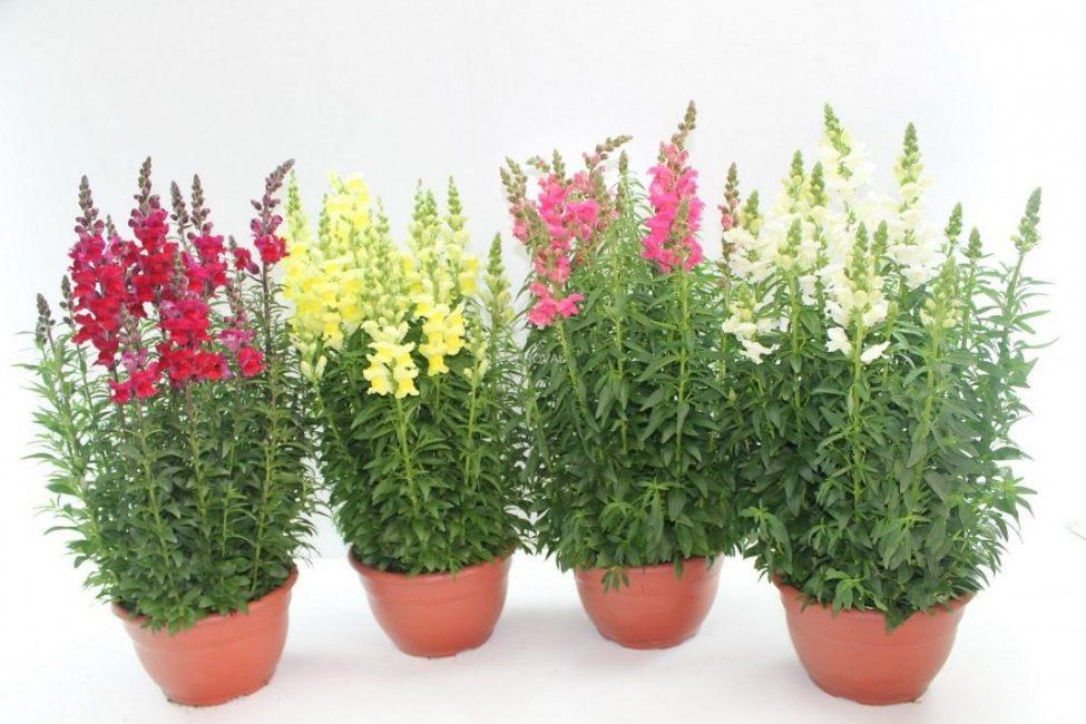 Молодое растение высокорослого сорта