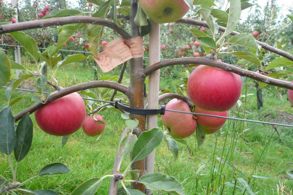 Шпалерные яблони подвязывают к горизонтальным опорам, как виноград