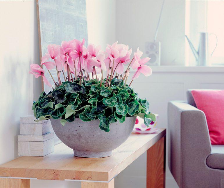 Цикламен – характерное влаголюбивое растение