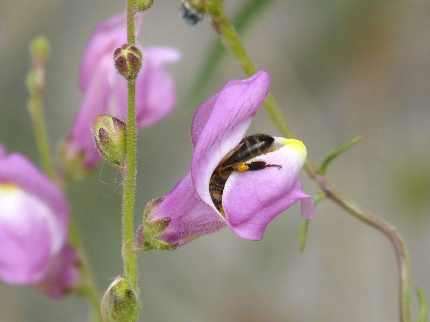 Пчелы обожают собирать нектар с львиного зева