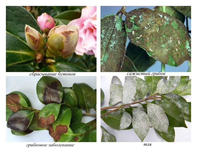 Возможные болезни растения