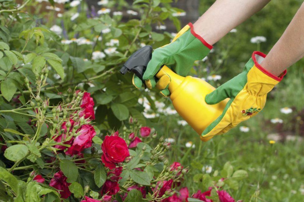Процесс внесения подкормок для роз