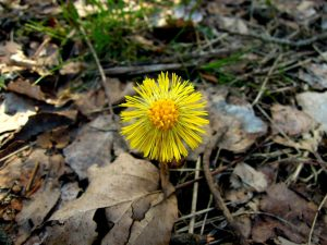 Целебное растение Мать-и-мачеха: описание, полезные свойства и противопоказания, рецепты | (Фото & Видео) +Отзывы