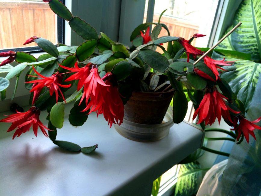 Продлить цветение поможет снижение температуры содержания
