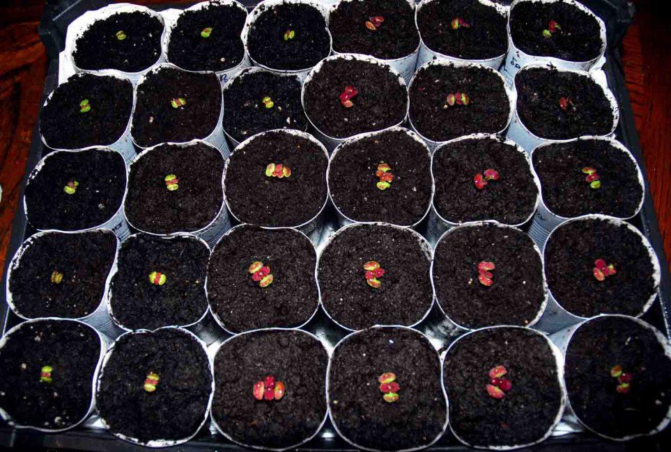 Первые всходы семян колеуса