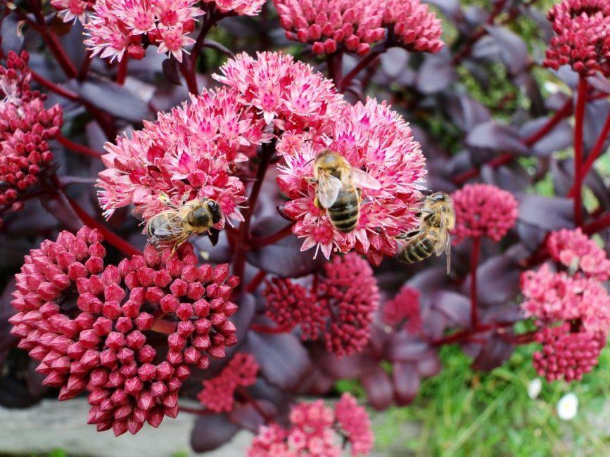 Очиток Пурпл Эмперор/ Во время цветения очитков нельзя оторвать взгляд от интересных, ни на что не похожих цветков