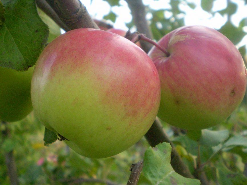 Сорт яблок Богатырь