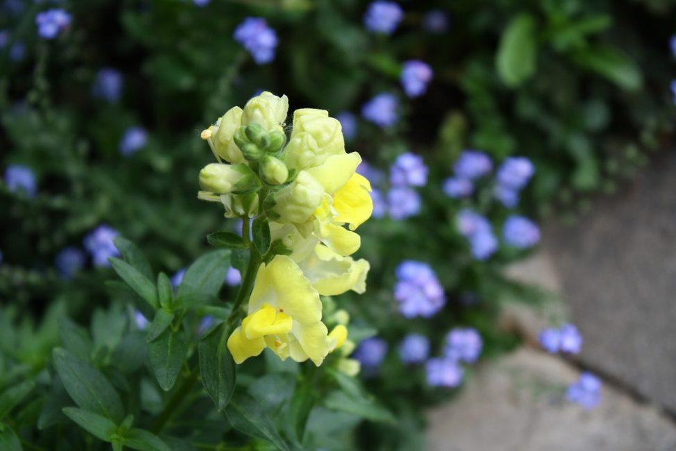 Желтые «ротики» львиного зева на фоне голубых цветков незабудки