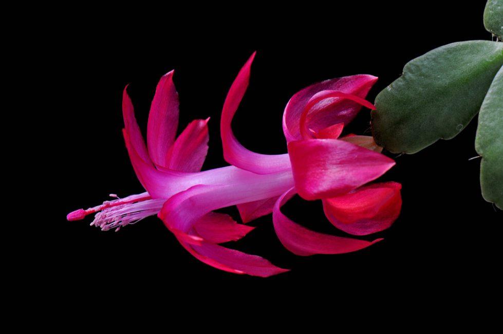 Вот такая необычная шлюмбергера русселиана в цветении(Russelliana)