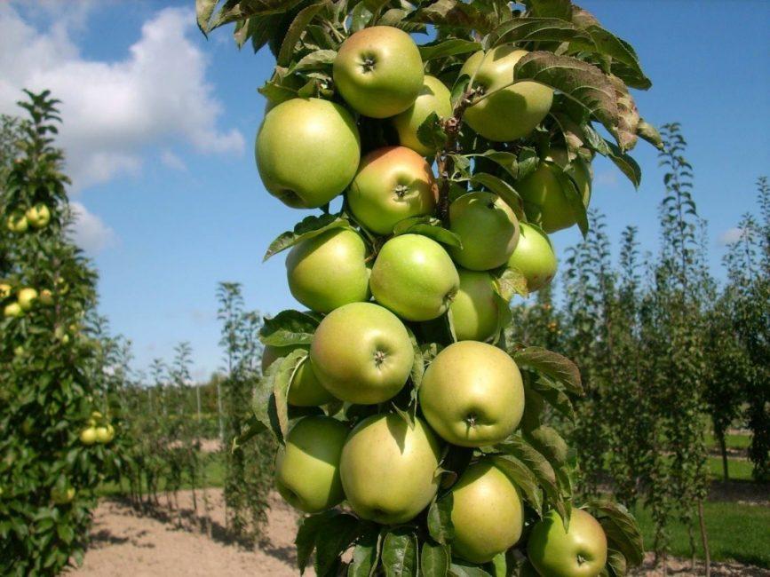 Расстояние в ряду между колонновидными яблонями 50 – 70 см.