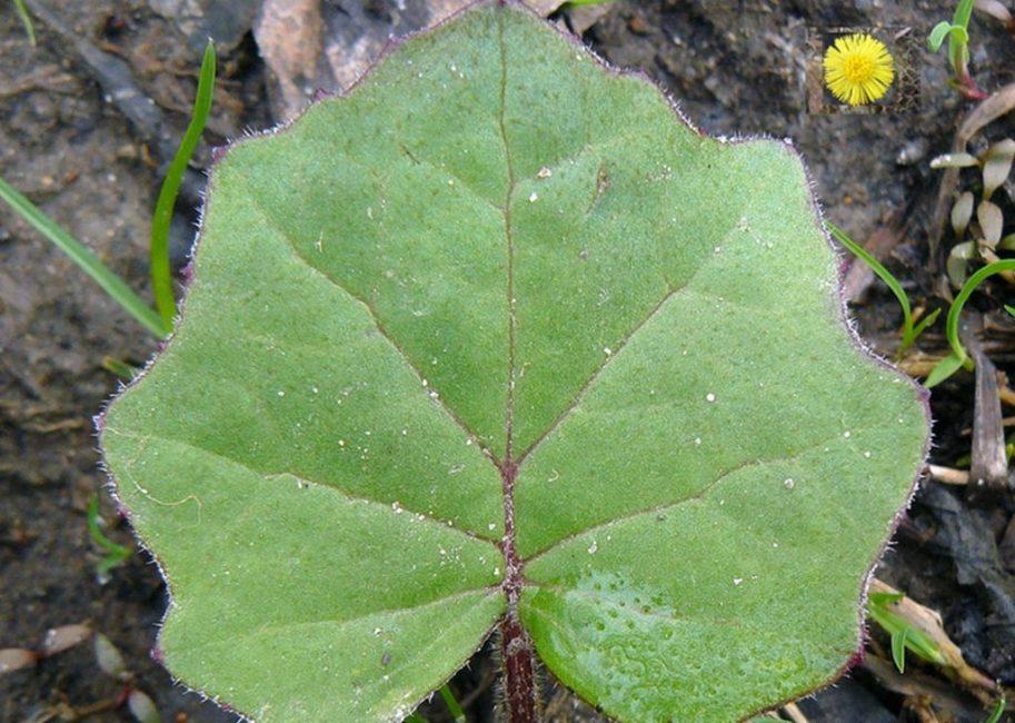 Лист растения, готовый к сбору