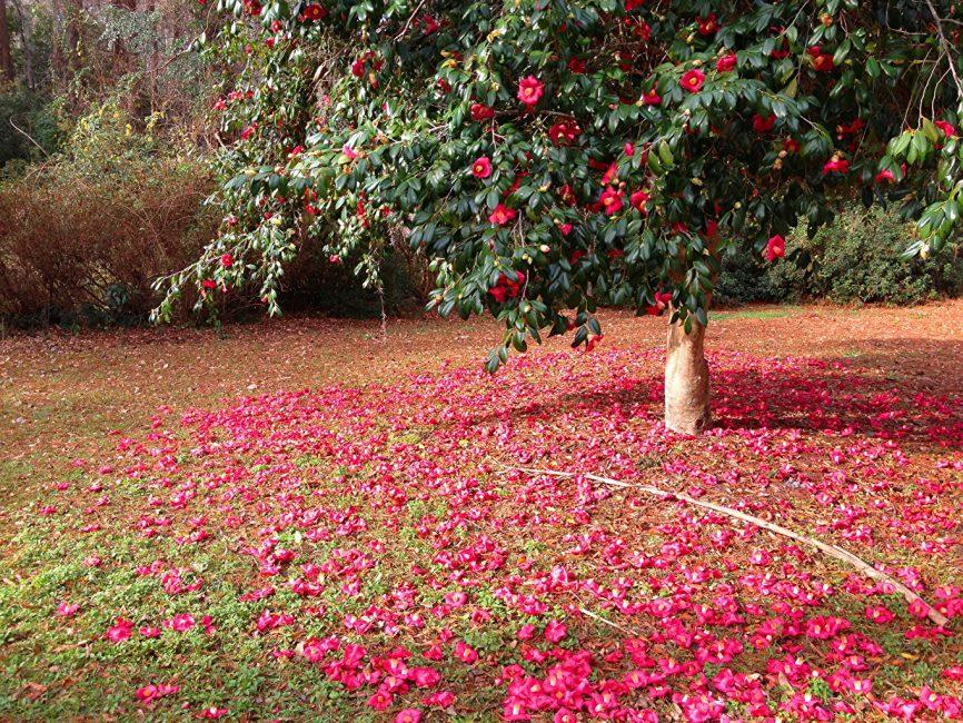 Японская камелия в естественных условиях обитания