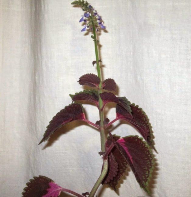 Стебель колеуса с листьями и соцветием