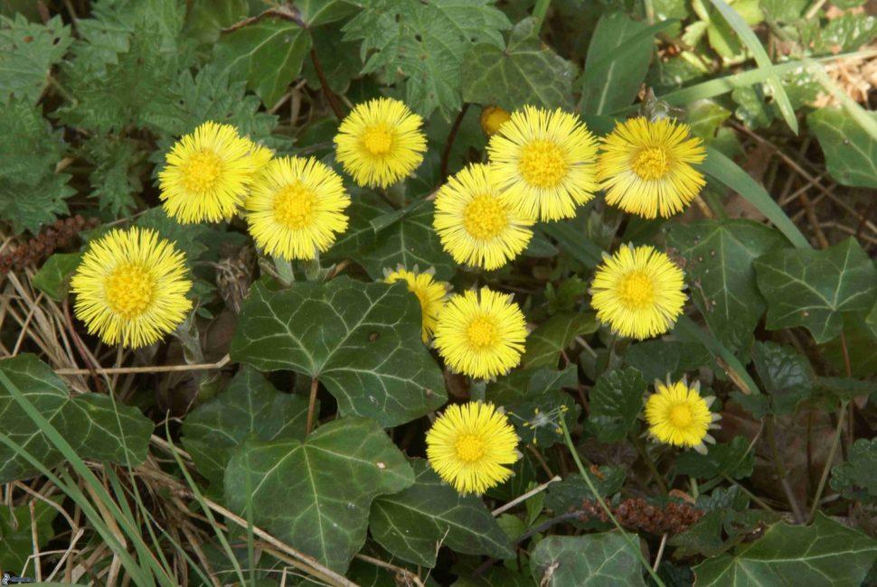 Рис. 3 – Цветы вместе с уже появившимися листьями