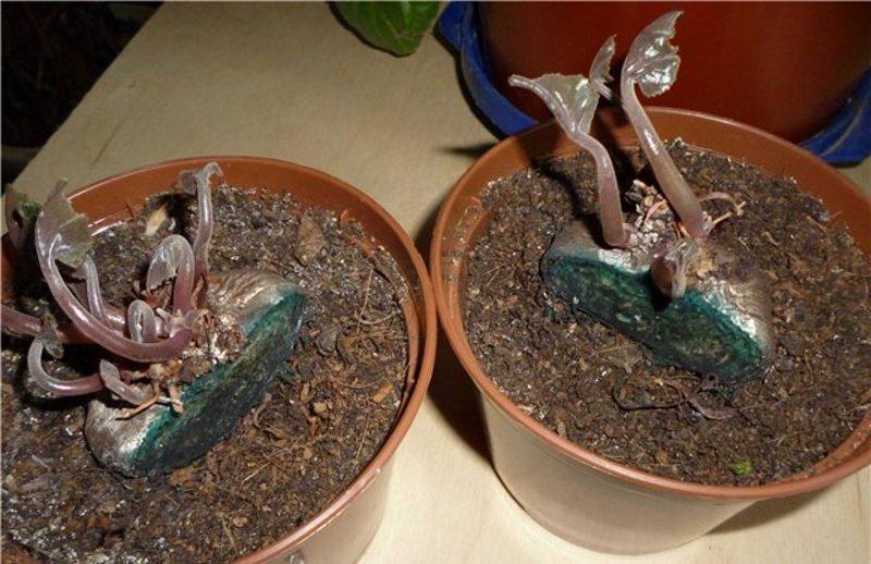 Разделение луковицы растения