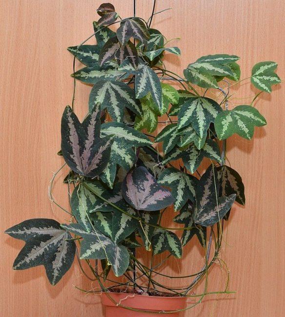 Листья пассифлоры трёхполосой.