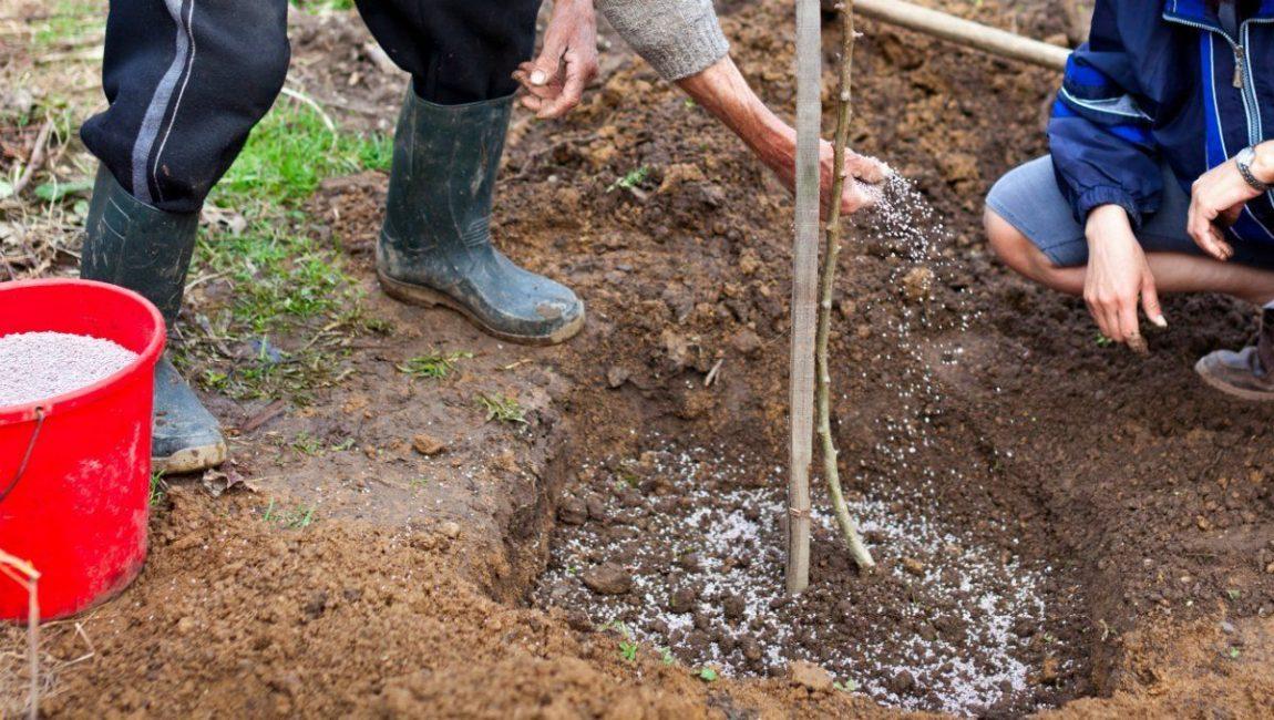 Процесс подкормки молодого дерева