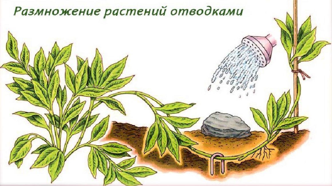Схема получения отводка от растения