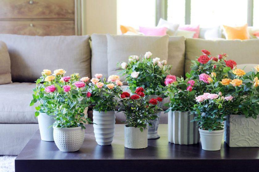 Полиантовые розы из семян - посадка и уход