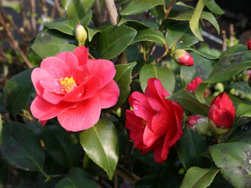 Camellia japonica Mary Williams