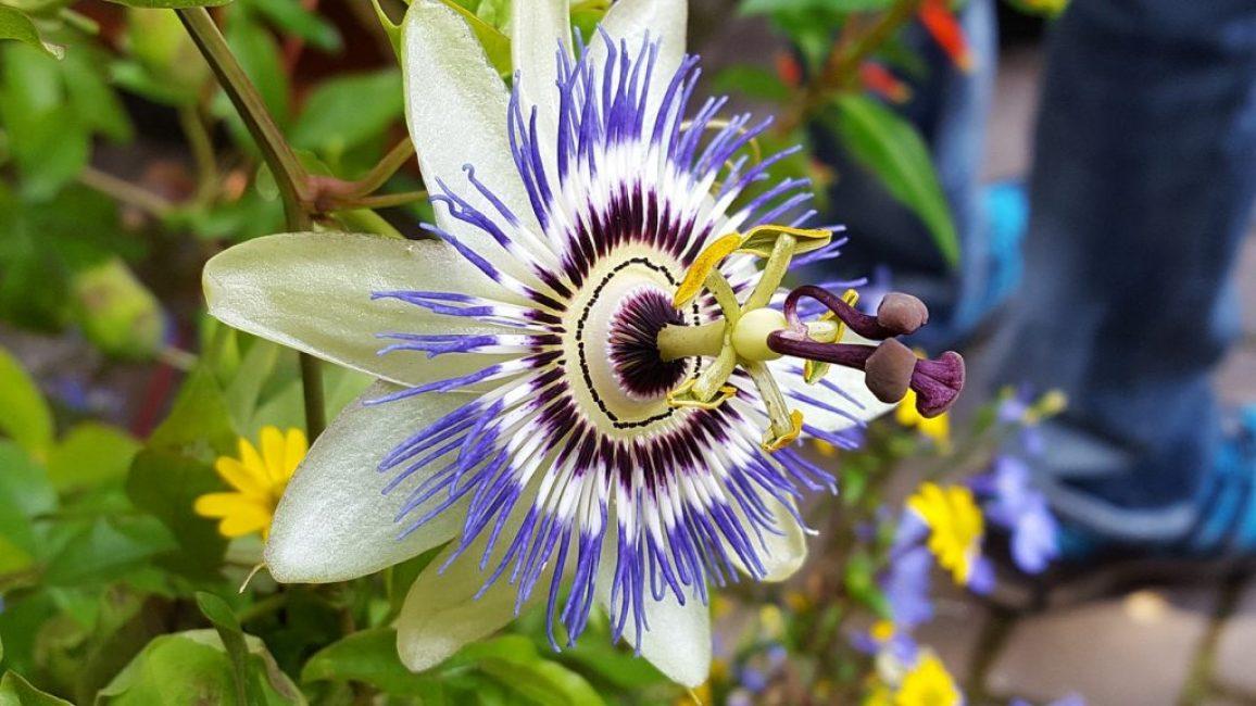 Цветок Страсти Страстоцвет