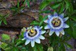 Пассифлора домашняя или страстоцвет - лиана со съедобными плодами: описание, виды, выращивание, посадка и уход, размножение (80+ Фото & Видео) +Отзывы