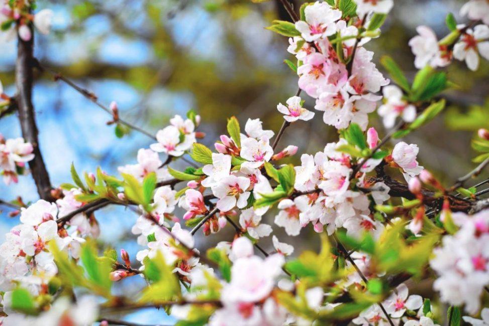 Вишневое дерево растет до 40 лет, но интенсивно плодоносит в возрасте от 3 до 20 лет