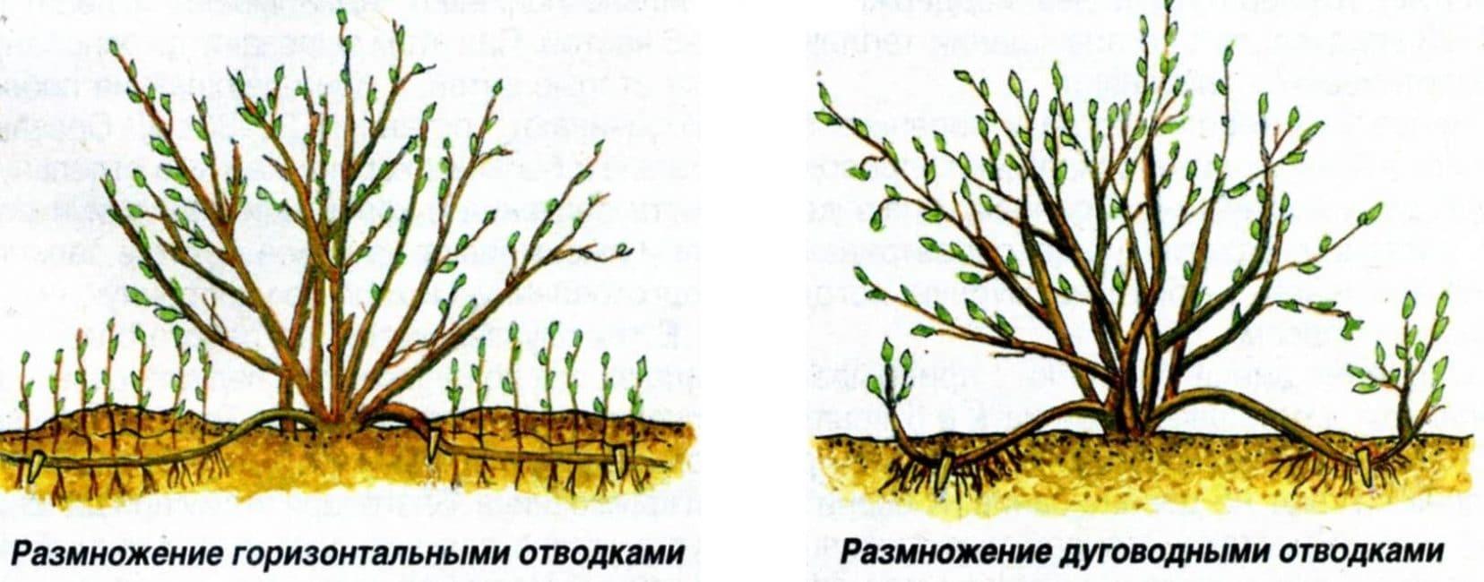 Схема размножения отводками