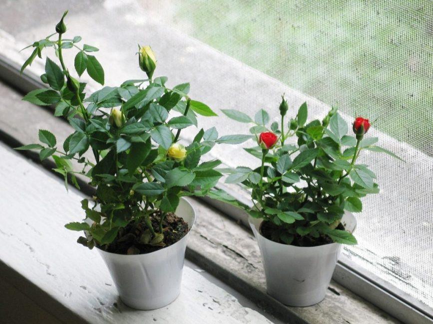 Домашнее выращивание роз