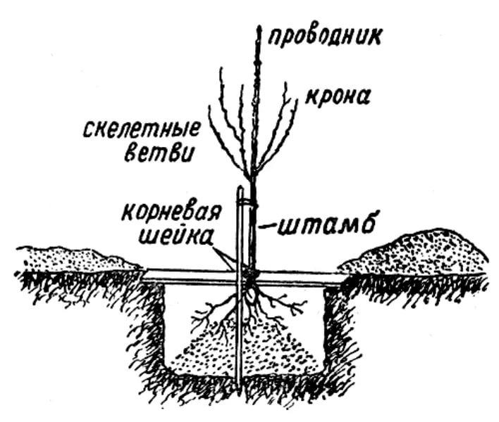 Уровень посадки вишни
