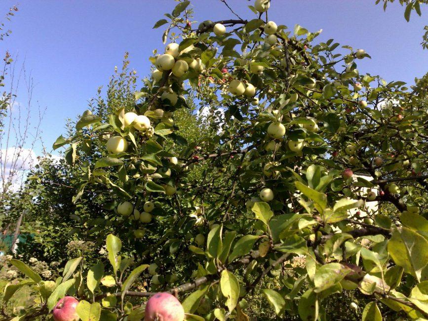 Ветка яблони гнется большим количеством плодов