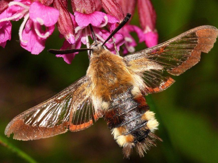 Бабочка-шмелевидка – главный вредитель азиатской красавицы