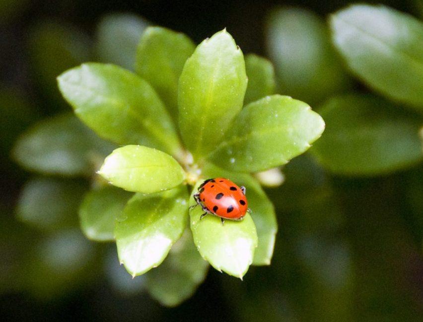Божья коровка защищает букс от насекомых-вредителей тли и щитовки