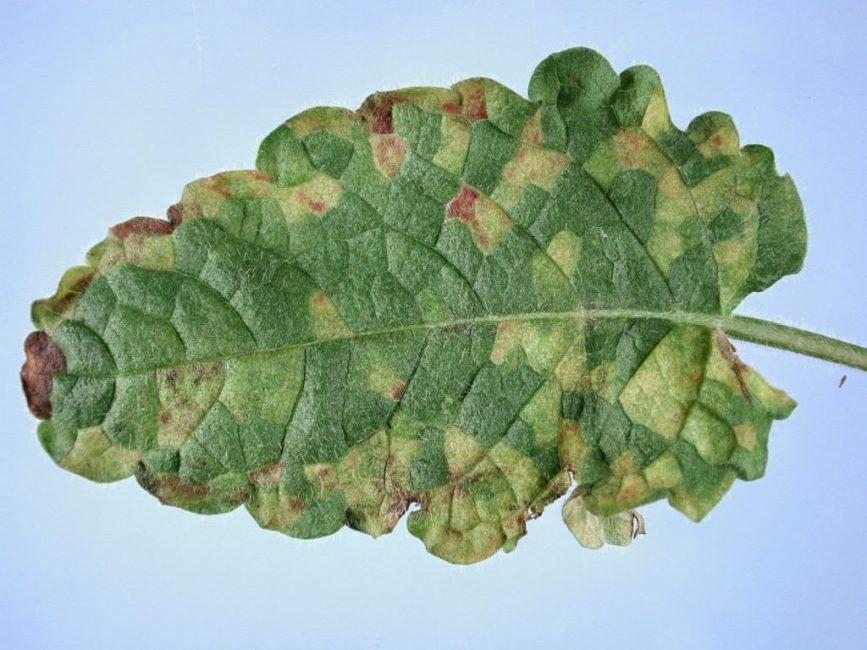 Больной листок растения нетрудно опознать
