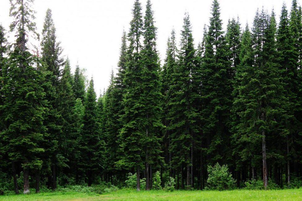 Большинство природных видов пихты – крупномерные деревья
