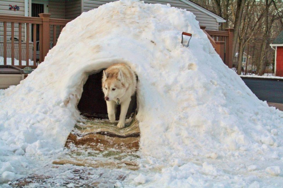 Даже будка из снега для собаки лучше, чем жара