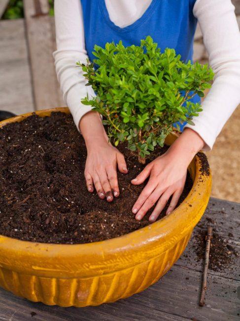 Букшан будет активно расти и развиваться в почке с кислотностью 5,5–6