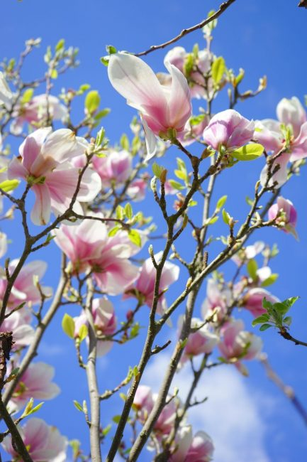 Ветки цветущей магнолии
