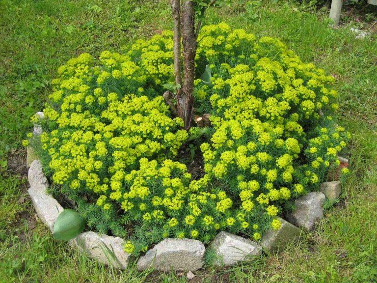 Вместо мульчи можно посадить вокруг дерева другие растения