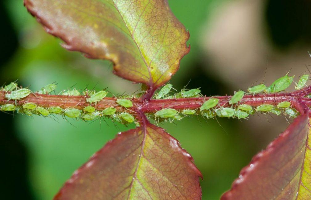 Вредители на стебле розы