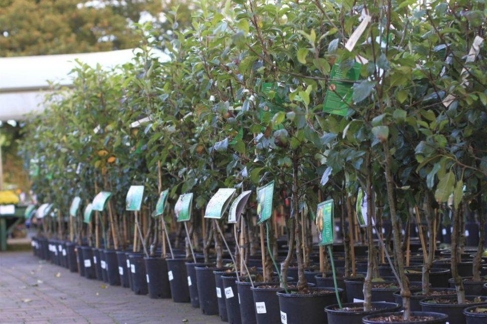 Выбор саженцев в садовых центрах широк