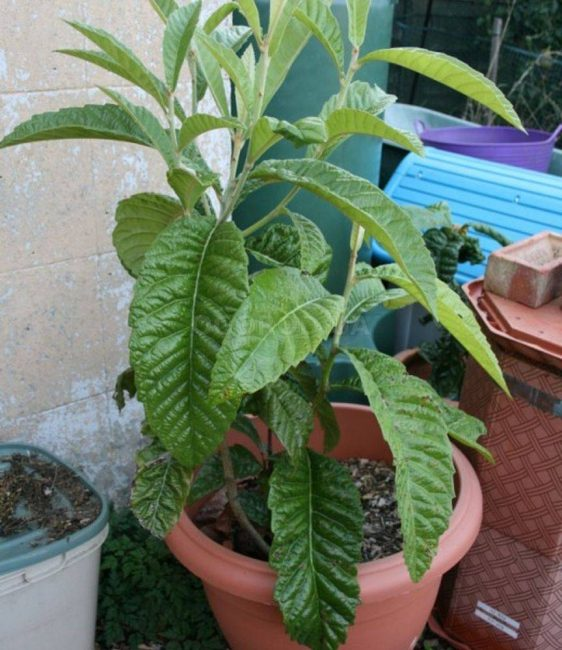 В качестве подкормки шишковника подойдут обычные удобрения для декоративных растений