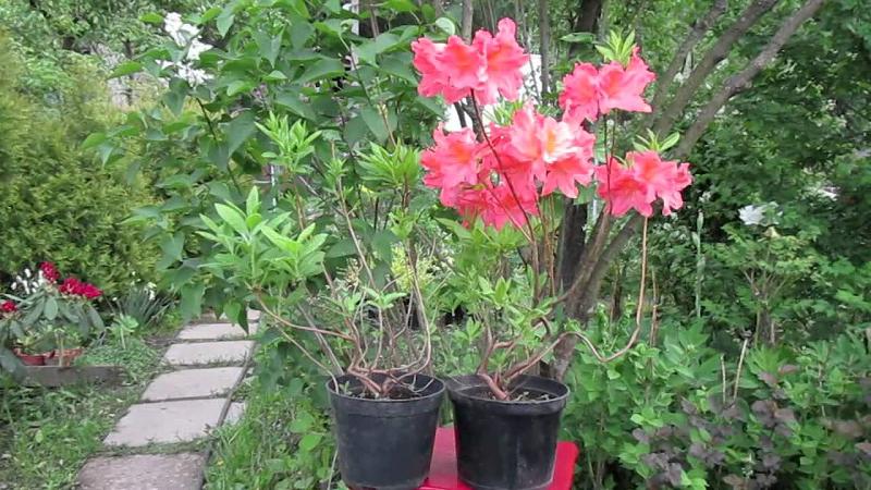 В садовых центрах и питомниках саженцы азалий продаются в контейнерах