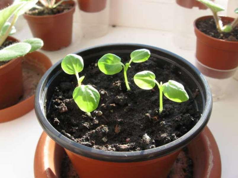 Гибискус, выращенный из семян