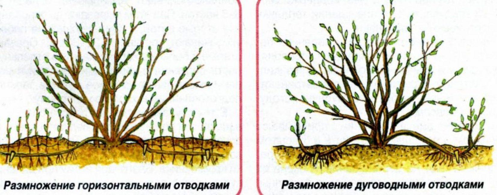 Два варианта размножения отводками