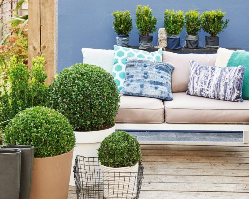 Декоративный кустарник можно выращивать и в квартире, главное – выбрать для него затемнённое место