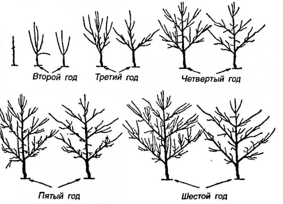 Деревья в первые годы нужно обрезать постоянно